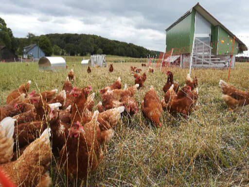 Hof Holberg Hühner auf der Wiese
